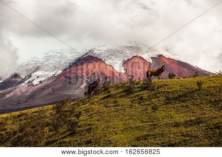 Wild horses running in Cotopaxi National Park