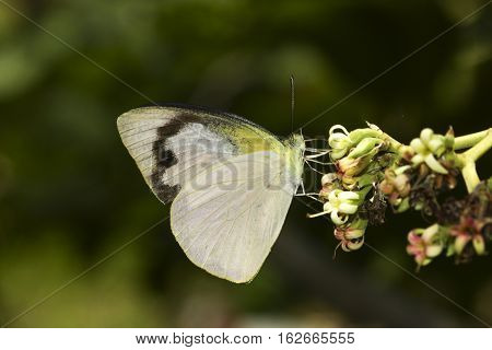 Tropical butterfly Common albatross Appias albina feeding on flower