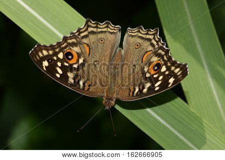 Lemon pansy Junonia lemonias nymphalid butterfly found in South Asia