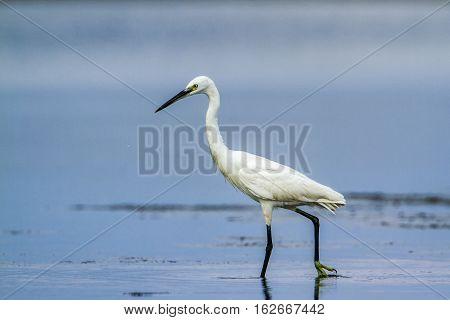 Little egret in Kalpitiya lagoon, Sri Lanka ; specie Egretta garzetta family of Ardeidae