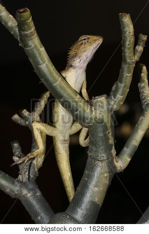 Closeup of brown Changeable lizard Calotes versicolor on tree