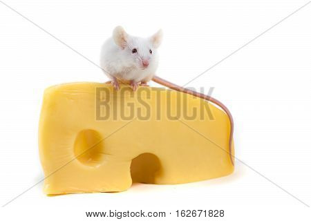 White Mouse Perched On A Large Block Of Cheese Isolated On A White Background