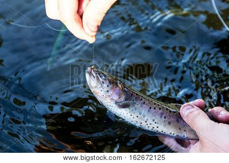 Speckled Rainbow Trout Caught On A Fishing Line