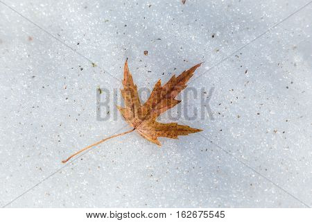 Yellow maple leaf lying down on melting snow background, spring landscape