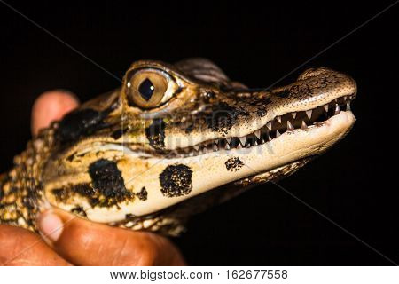 Teeth of young black caiman captured by a native of the jungle