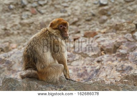 Barbary Macaque (Macaca sylvanus) on the background of rocks. Outdoors