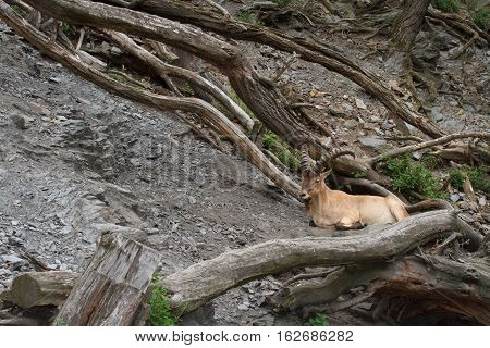 Young Male Wild Caucasian Tur On Rock Background