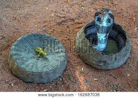 Dancing indian cobra in a hamper of snake charmer