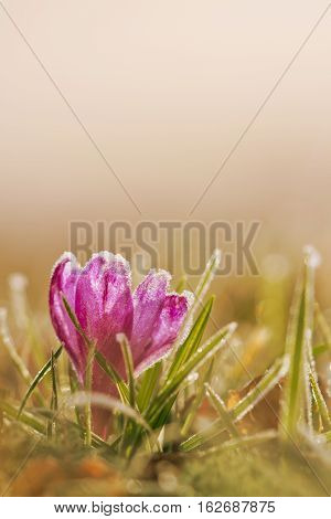 Frozen crocus flower in frost. Spring flower in nature with soft light. View of magic blooming spring flowers crocus in wildlife