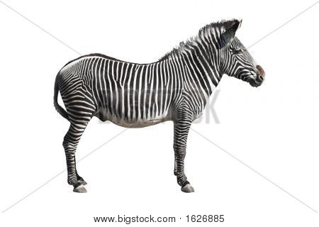 Grevy'S Zebra Isolated Over White Background