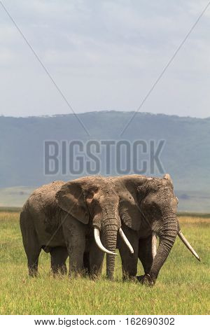 Two friend. Old elefants from crater. NgoroNgoro, Tanzania.