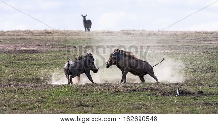 Warthogs. The battle in the field. SweetWaters, Kenya