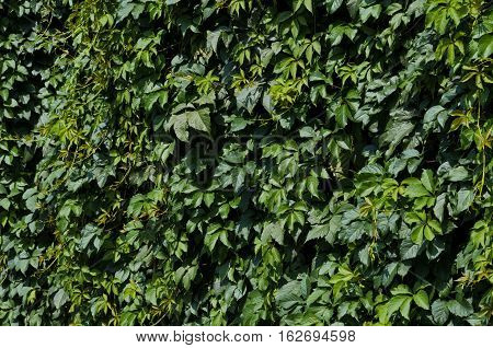 Background of green Virginia creeper leaves in summer