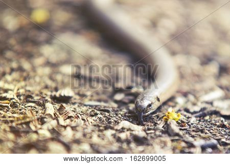 close up on Natrix snake on forest bckground