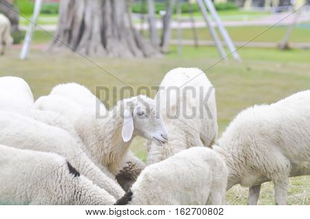 sheep , ram or ewe on the farm