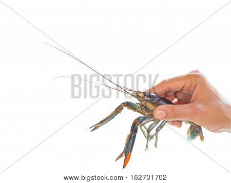 hand holding Red claw Crayfish. isolated on white background.