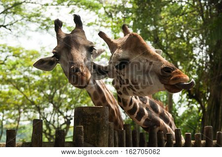 Heads of Two young cute giraffe. Close-up.