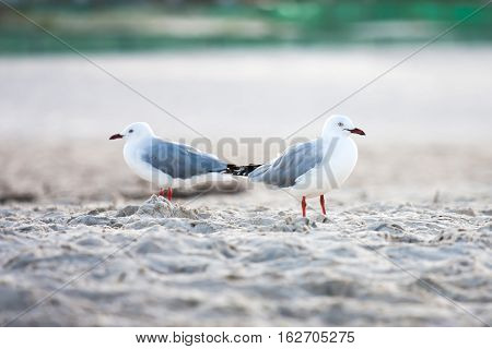 Silver Gulls seabirds standing on sand beach.
