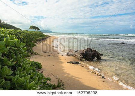 Vegetation along the sand beach in Lihue, Kauai, Hawaii