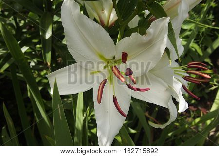 Bud Of White Lily.