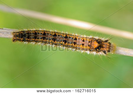 Hairy Caterpillar Of Butterfly Silkworm