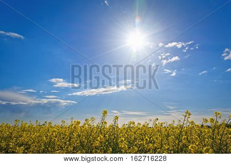 sunny day and glowing sunlight over a rape field
