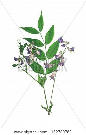 Pressed and dried stalk lathyrus vernus with delicate blue-violet flowers.Isolated on white background. For use in scrapbooking pressed floristry (oshibana) or herbarium.