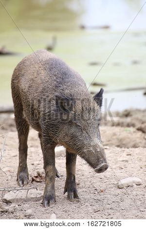 Wild Boar (sus Scrofa) Standing And Looking Down