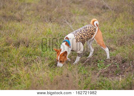 Basenji dog wearing leopard style coat sniff around while hunting in an autumnal field