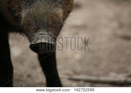 Close Up Of The Snout Of A Wild Boar (sus Scrofa)