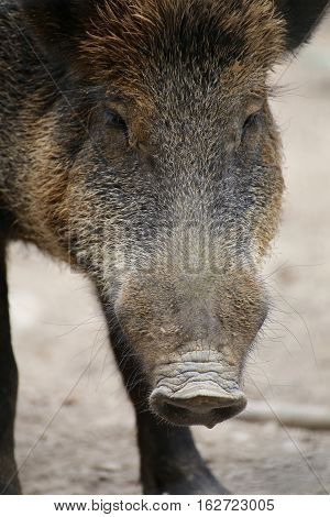 Close Up Of The Head Of A Wild Boar (sus Scrofa)