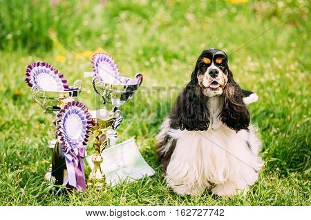 American Cocker Spaniel Dog Sitting On Green Grass Next To Three Cups Of Won At The Dog Show. Sunny Summer Day. Winner Of Dog Show.