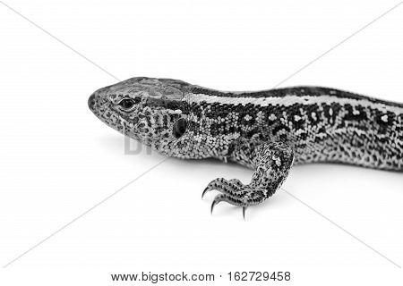 lizard, isolated, colorful, white, lizard, dragon, reptile, tegu, tasting, ecuador,