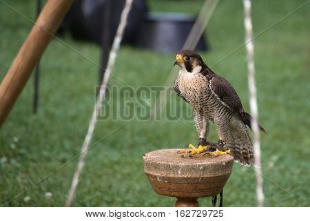 Peregrine Falcon (falco Peregrinus) Sitting On A Wooden Platform