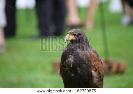 Medium Shot Of Harris Hawk (parabuteo Unicinctus)