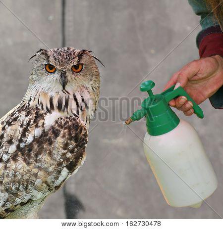 Western Siberian Eagle-owl (bubo Bubo Sibiricus) Is Sprayed With Water