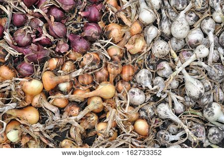 freshly harvested assorted ripe onion bulbs in the vegetable garden
