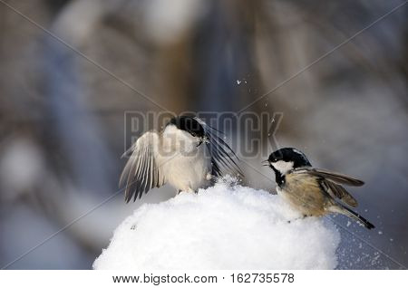 Fighting Coal tit (Periparus ater Parus ater) and Willow tit (Poecile montanus) in snow at sunny winter day. Kaluga region Russia