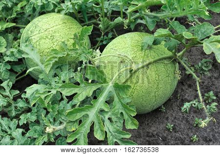 close-up of of ripening watermelons in the vegetable garden