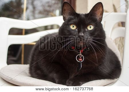 Black cat with red collar sitting on a white chair