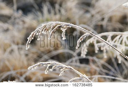close photo of sear grass covered with hoarfrost nad snow in winter