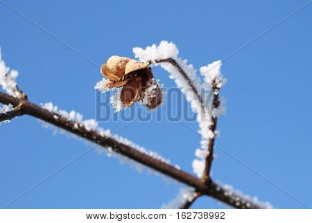 close photo of sear fruit of common spindle (Euonymus europaeus) with hoarfrost and snow in contrast with blue sky