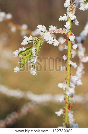 close photo of a thorny twig of wild rose bush with last leaves covered with hoarfrost and crystals of snow