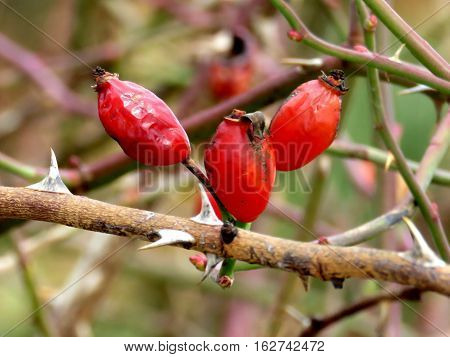 Rosehip berries in Humber Bay Park on a shore of Lake Ontario in Toronto Canada December 20 2016