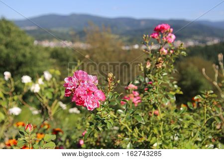 Close-up Of Rose In Front Of The City Of Gaggenau, Baden-wurttemberg, Germany