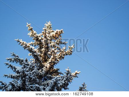 Fir covered with snow against the blue sky in the daytime