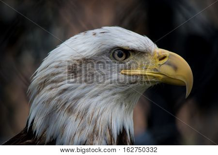 Eagle in Captivity at Lake Reelfoot Tennesee.