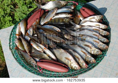The fish catch is laid out on a grid