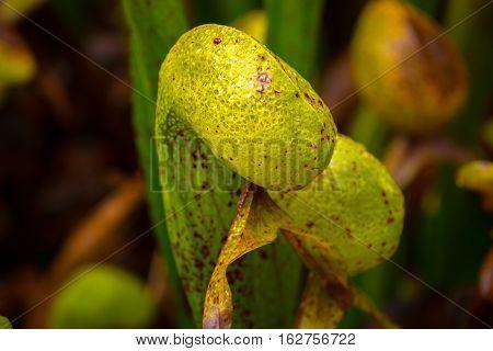 Cobra Lilly Darlingtonia Californica Close-up