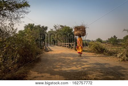 Rural Indian woman carries wood on her head for burning to her village in Bankura, West Bengal, India.